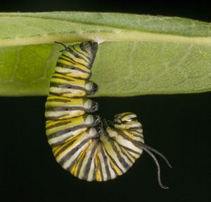 predicting evolution for insects