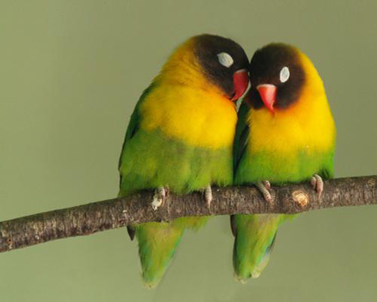 prev-love-birds
