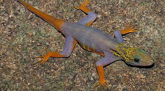 psychedelic gecko in Greater Mekong