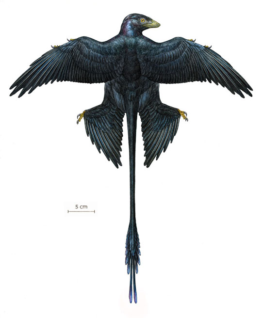 Dinosaurs Jurassic Microraptor Feathers Were Black with Iridescent Sheen Reconstruction-of-Microraptor