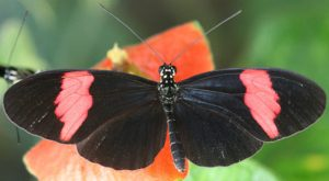 researchers examined the genome of the Postman butterfly