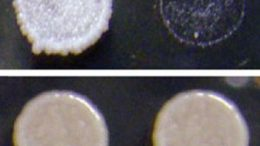 researchers find prions in wild strains of yeast