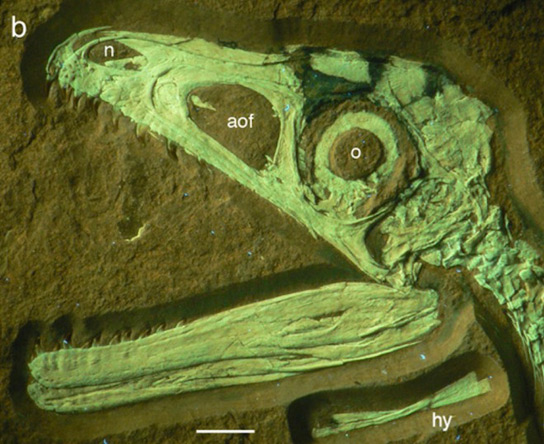 Dinosaurs Jurassic Bushy-Tailed Fossilized Theropod Could Mean that Most Dinosaurs Had Feathers S-albersdoerferi-head