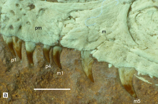 Dinosaurs Jurassic Bushy-Tailed Fossilized Theropod Could Mean that Most Dinosaurs Had Feathers S-albersdoerferi-teeth