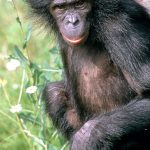 scientists have completed the genome of the bonobo