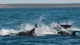 shark-bay-dolphins-at-war