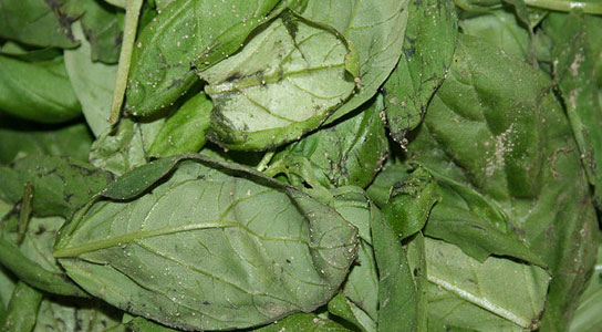 spinach-infection