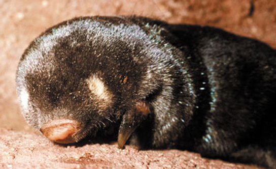 studied-golden-mole