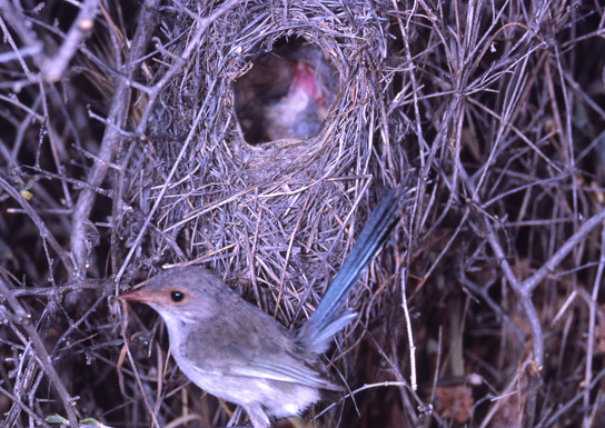 superb-fairy-wren-nest