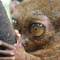 tarsier-ultrasound-vocalization