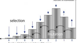 the evolutionary model of Muller's ratchet