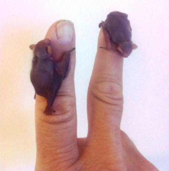 two-bumblebee-bats-fingers