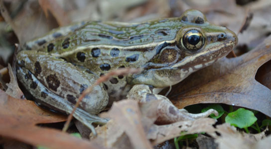 unnamed frog species