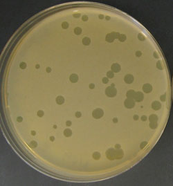 virus with potential to stop pimples