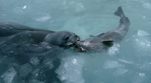 weddell-seal-antarctic-toothfish