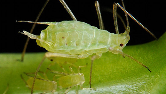 white-aphid
