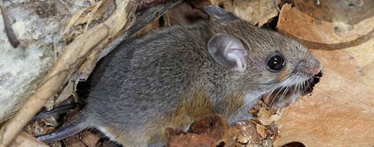 white-footed-mouse