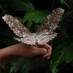white-witch-moth