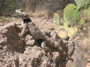 widespread local extinctions in spiny lizards have been caused by anthropogenic climate change