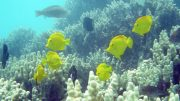 yellow tangs frolicking among corals