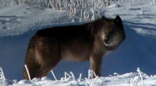 yellowstone-wolves-killed