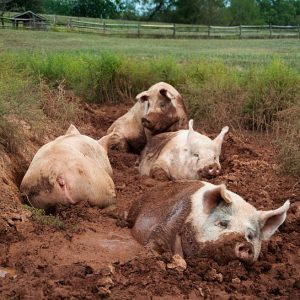yorkshire-pig-sanctuary