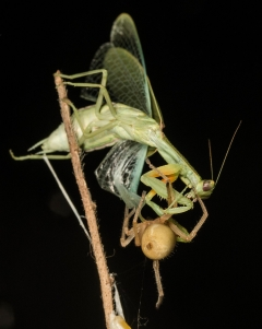 "Highly Commended: ""Green Mantis"" by Damien Esquerré"