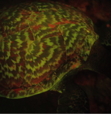 Biofluorescent Glowing Hawksbill Sea Turtle